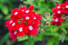 Red verbena. Close-up in summer city park Royalty Free Stock Image