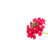 Red verbena flower Royalty Free Stock Photography