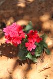 Red Verbena Flowers. Beautiful Red Verbena Flowers. This plant has small flowers in red color Stock Photo