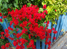 Red verbena flowers on blue fence stock images
