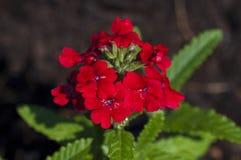Red verbena. In the summer garden Royalty Free Stock Photos