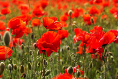Red vibrant field of poppy flowers Stock Photography