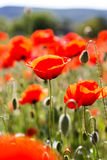 Red vibrant field of poppy flowers Royalty Free Stock Images