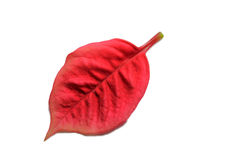 Red vibrant leaf on white background. Royalty Free Stock Photos