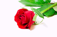 Red vibrant rose. Red flower , red  rose ,rose isolated Royalty Free Stock Image