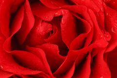 Red vibrant rose petals with water droplets Stock Image