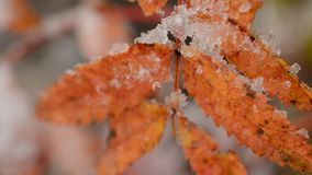 Red vibrant rowan tree leaf with snow in autumn macro video. In the arctic circle stock video
