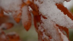 Red vibrant rowan tree leaf with snow in autumn macro video. In the arctic circle stock footage