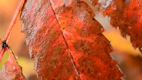 Red vibrant rowan tree leaf with snow fall in the arctic circle nature. Background stock video footage
