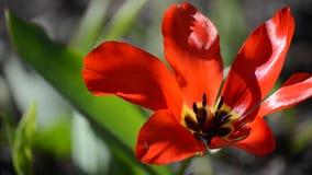 Red vibrant tulipa praestaus flowers in summer sunshine, also know as unicum. Flowers stock footage