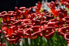 Red vibrant tulipa praestaus flowers in summer sunshine, also know as unicum Royalty Free Stock Images