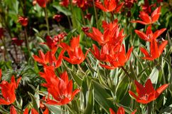 red vibrant tulipa praestaus flowers in summer sunshine, also know as unicum Stock Photography