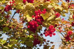 Red viburnum Royalty Free Stock Photos