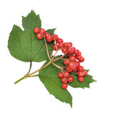 Red Viburnum Royalty Free Stock Photography