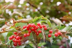 Red viburnum. Autumn red berries.  royalty free stock images