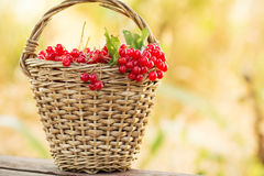 Red viburnum in basket on bench Royalty Free Stock Photo