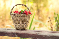 Red viburnum in basket on bench Royalty Free Stock Photos