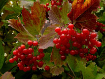 Red viburnum. Beautiful clusters of red viburnum among autumnal leaves stock photos