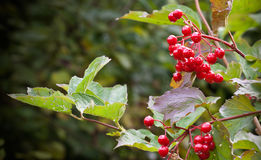 Red viburnum berries Stock Photos