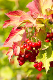 Red Viburnum berries. In autumn Royalty Free Stock Images