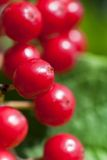 Red viburnum berries Royalty Free Stock Photos