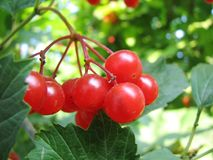 Red viburnum berries. Ripe red viburnum berries on leafy green plant Royalty Free Stock Image