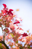 Red Viburnum berries in autumn Stock Photos