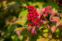 Red viburnum berries stock image