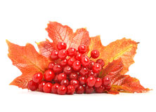 Red viburnum berries and autumn leaves Royalty Free Stock Images