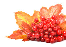 Red viburnum berries and autumn leaves Royalty Free Stock Photo