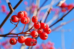 Red viburnum berries on a branch Royalty Free Stock Images