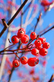 Red viburnum berries on a branch Royalty Free Stock Photo