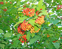 Red viburnum berries on a branch Stock Image