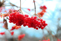 Red viburnum berries on a branch in a garden Royalty Free Stock Photography