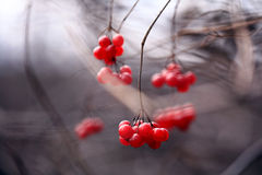 Red viburnum berries on a branch Royalty Free Stock Photos