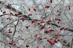 Red viburnum berries on a branch Stock Photography