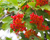 Red viburnum berries. With dew on the branches Royalty Free Stock Images