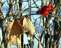 Red viburnum berries and dry leaves in winter Stock Image
