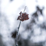 Red viburnum berries dusted with snow on a branch Stock Photo