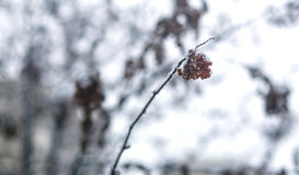 Red viburnum berries dusted with snow on a branch Stock Photography