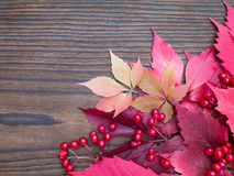 Red viburnum berries and fall leaves Royalty Free Stock Image