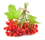 Red viburnum berries Royalty Free Stock Photos
