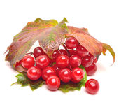 Red viburnum berries with leaves Royalty Free Stock Images
