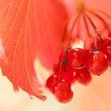 Red viburnum berries in the park. Beautiful bright viburnum berries ripening on a branch in a sunny park or in the garden royalty free stock photos
