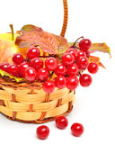 Red viburnum berries and ripe apple in the basket Stock Image