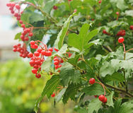 Red Viburnum berries. In the tree Royalty Free Stock Photo