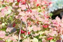 Red Viburnum berries Stock Photos