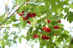 Red Viburnum berries Royalty Free Stock Photo