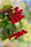 Red Viburnum berries. In the tree Royalty Free Stock Photos