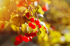 Red Viburnum berries in the tree Stock Photos